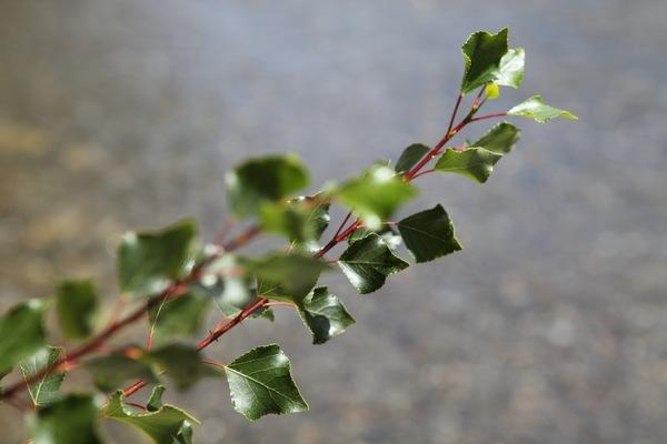 populus_nigra1